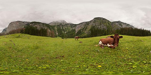 Cows in meadow near Röthbachfall, Königsee 360° Panorama