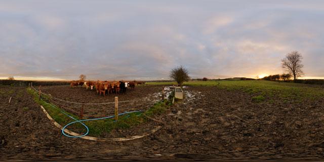 Muddy field and bulls at sunset 360° Panorama